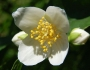 Carpenteria californica Image
