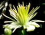 Clematis lasiantha Image