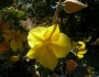 Fremontodendron 'Pacific Sunset' Image