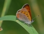 Lycaena helloides Image